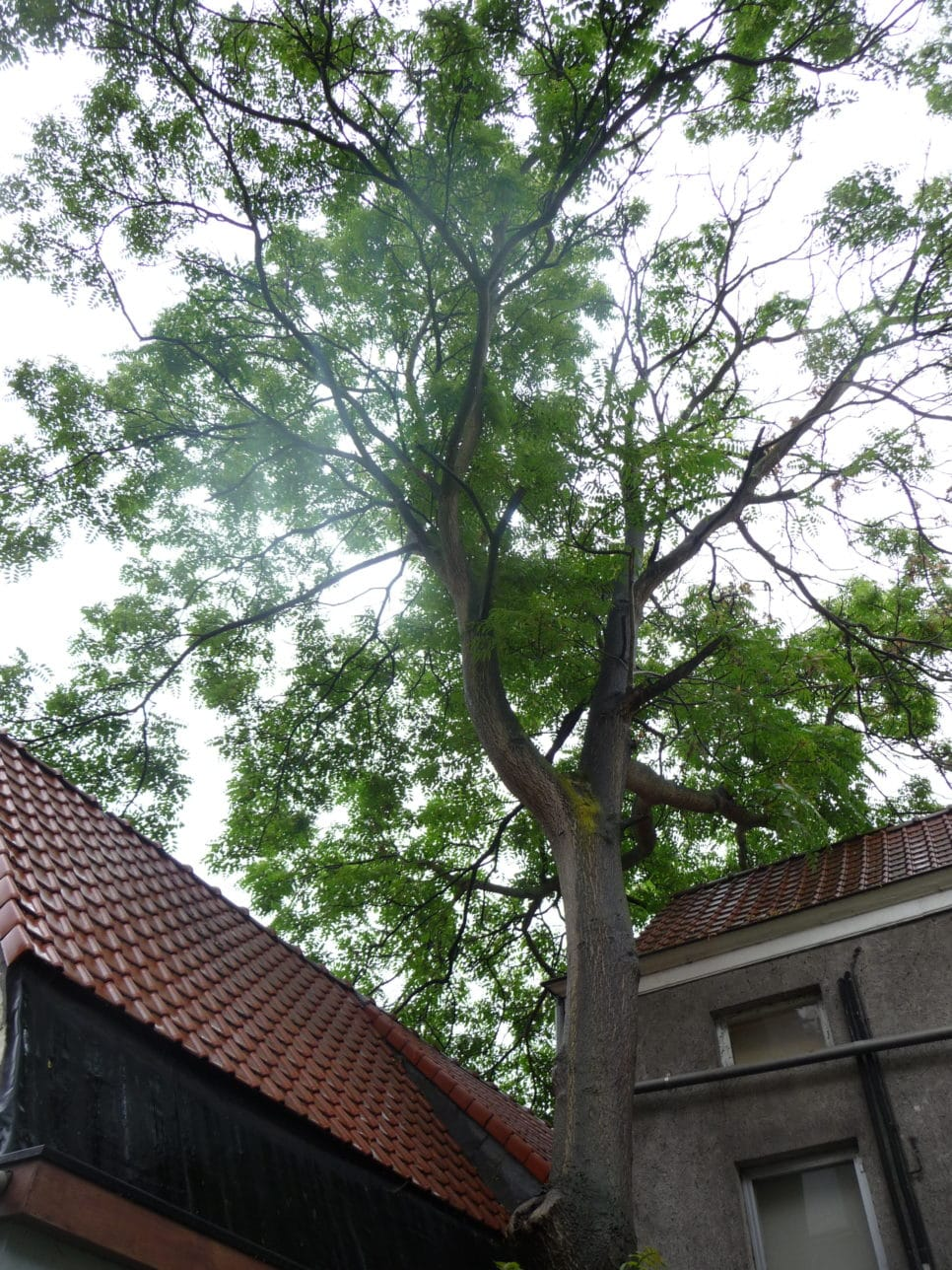 Te grote boom in te kleine tuin demontage Ailanthus
